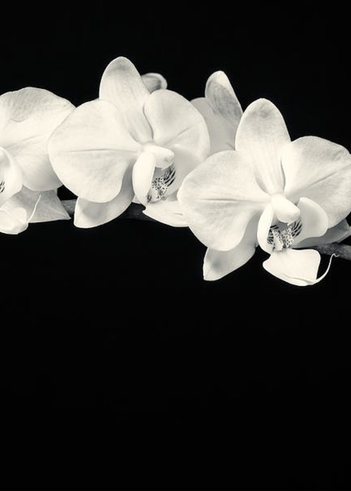 3scape Photos Greeting Card featuring the photograph White Orchids Monochrome by Adam Romanowicz