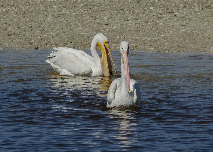 Nature.birds Greeting Card featuring the photograph White Pelican Pair by Ralph Brunner