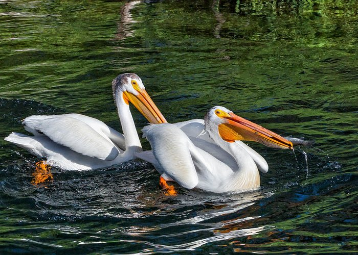 Pelecanus Erythrorhynchos Greeting Card featuring the photograph White Pelicans Fishing For Trout by Kathleen Bishop