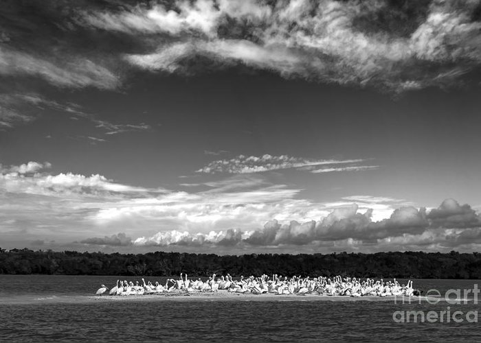 White Pelicans Greeting Card featuring the photograph White Pelicans On Island In The Everglades by Dan Friend