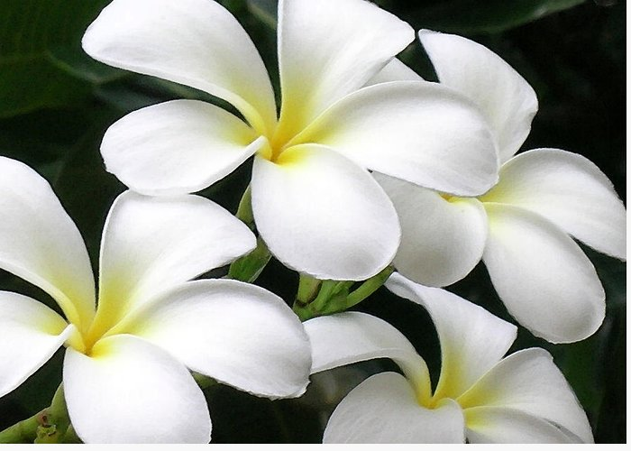 Hawaii Iphone Cases Greeting Card featuring the photograph White Plumeria by James Temple