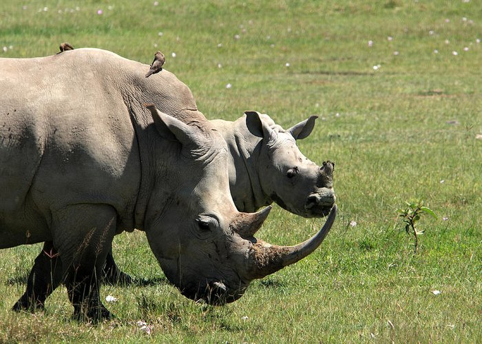 Rhinoceros Greeting Card featuring the photograph White Rhino Mother And Calf by Aidan Moran