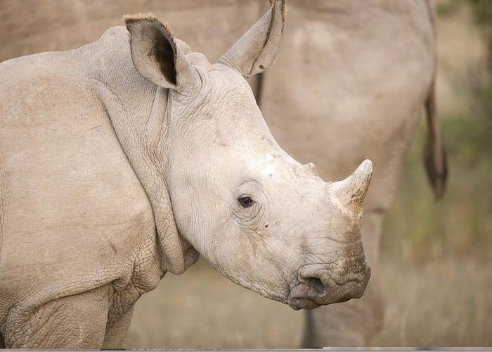 Adult Greeting Card featuring the photograph White Rhinoceros Calf by Science Photo Library