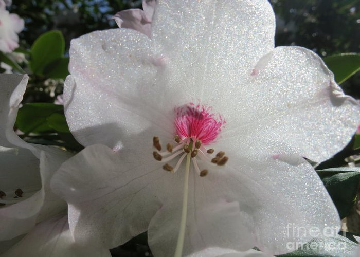 White Rhododendron Blossom Greeting Card featuring the photograph White Rhododendron Blossom by Lena Photo Art