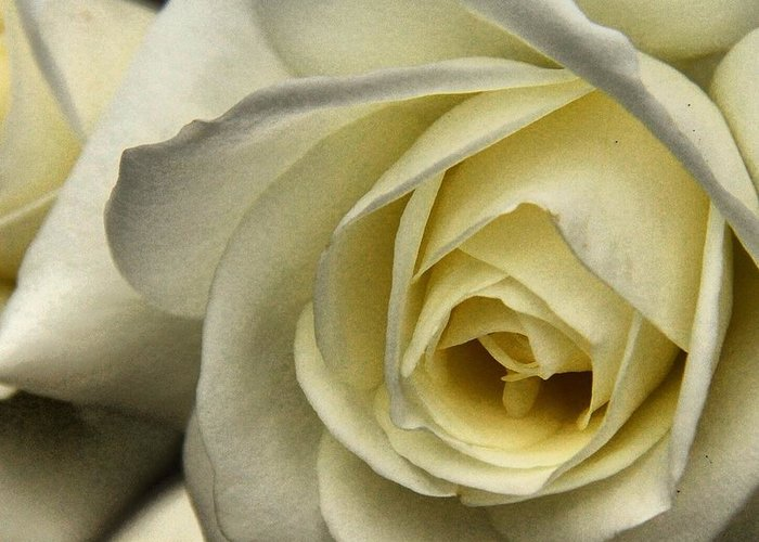 Rose Greeting Card featuring the photograph White Rose by Phil Huettner