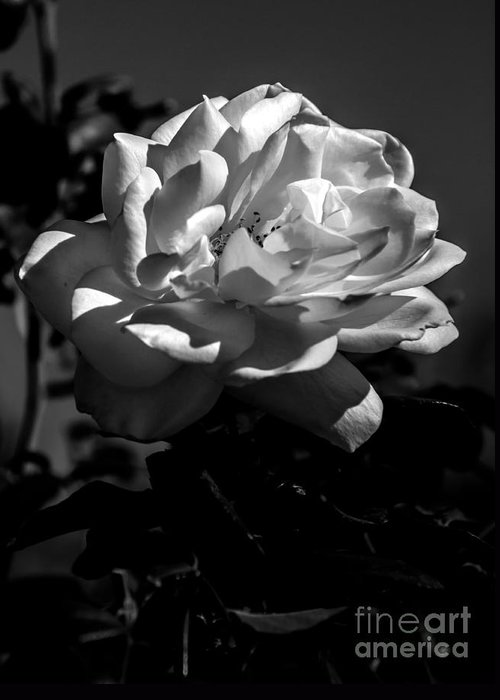 Perennial Greeting Card featuring the photograph White Rose by Robert Bales