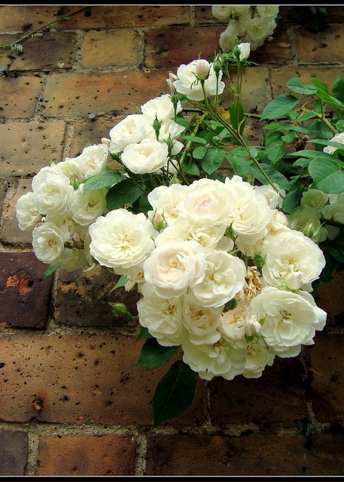 Rose Greeting Card featuring the photograph White Roses by Chandrima Dhar