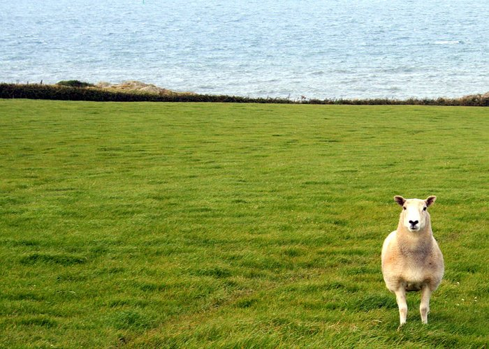 White Sheep Greeting Card featuring the photograph White Sheep In A Green Field By The Sea by Georgia Fowler
