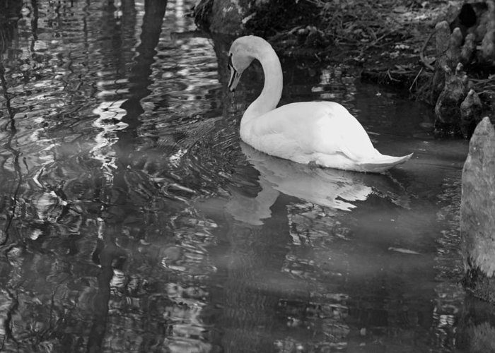 Photograph Greeting Card featuring the photograph White Swan In Black And White II by Suzanne Gaff