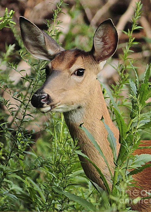 Deer Greeting Card featuring the photograph White Tail Deer by Linda C Johnson
