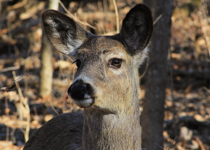 Animal Greeting Card featuring the photograph White Tailed Deer 1 by Jim Vance