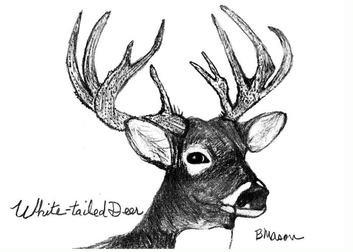 Animals Greeting Card featuring the drawing White-tailed Deer Head by Becky Mason