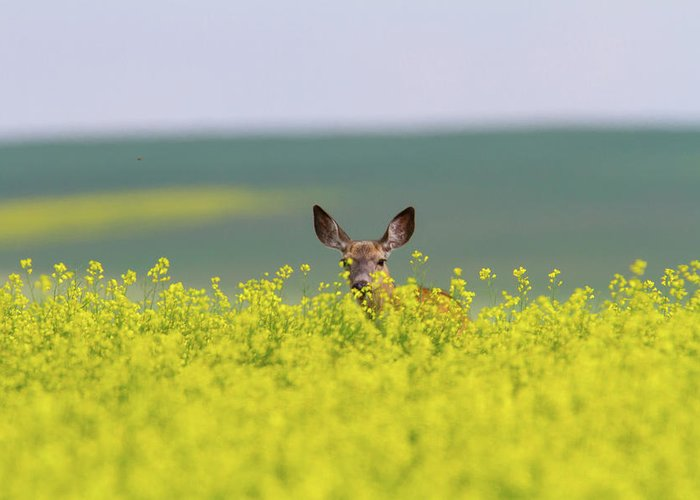 Alertness Greeting Card featuring the photograph White-tailed Doe by Ed Matuod