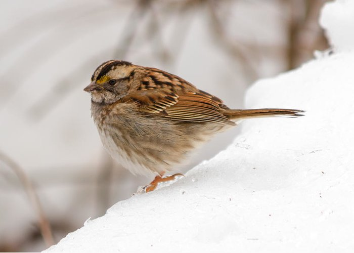 Bird Greeting Card featuring the photograph White-throated Sparrow by Gaurav Singh