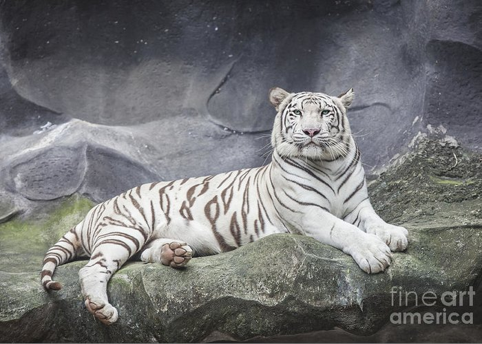 Aggression Greeting Card featuring the photograph White Tiger On A Rock by Anek Suwannaphoom