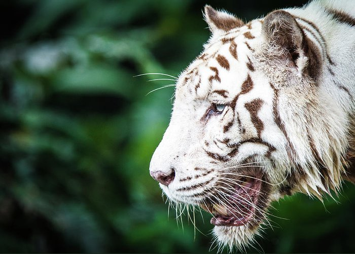Snarling Greeting Card featuring the photograph White Tiger by Tony Kh Lim