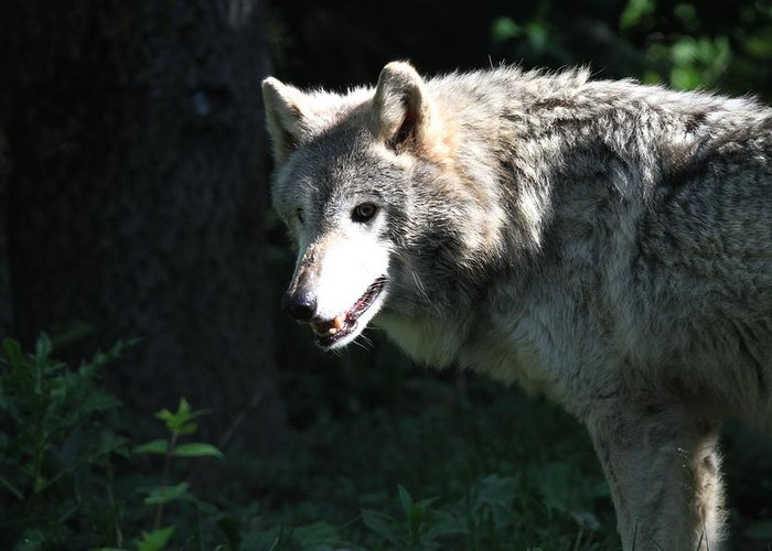 Wolf Territory Greeting Cards