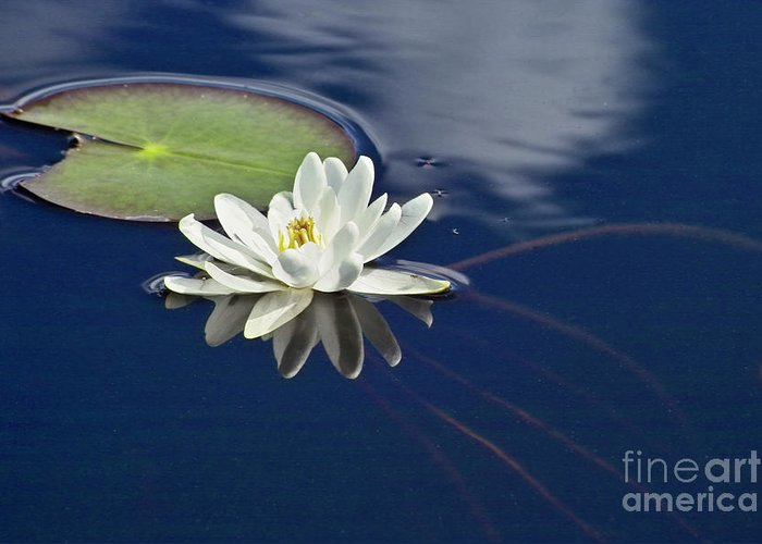 Water Llilies Greeting Card featuring the photograph White Water Lily by Heiko Koehrer-Wagner