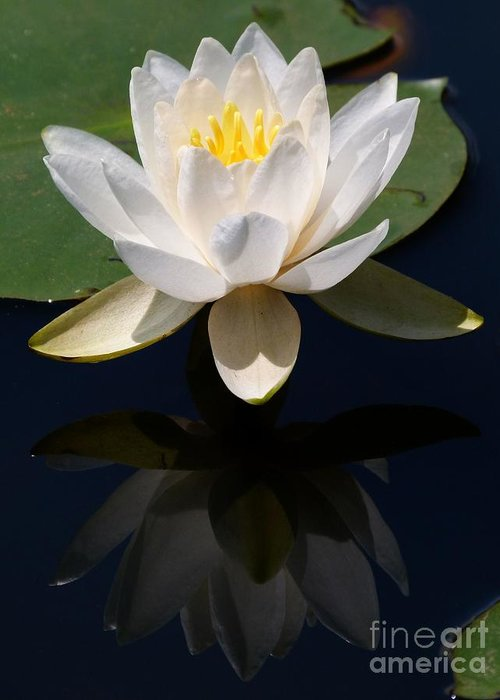 Waterlily Greeting Card featuring the photograph White Waterlily Reflection by Christine Stack