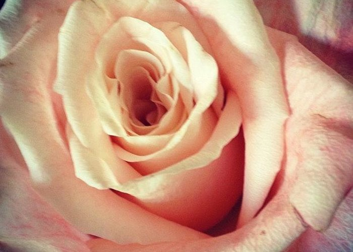Beautiful Greeting Card featuring the photograph #whiterose #rose #flower #bloom #pretty by Amber Campanaro