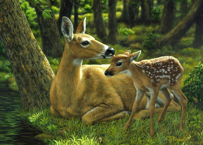 Whitetail Greeting Cards