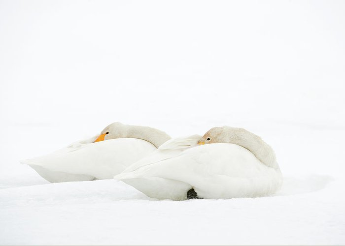 Animal Greeting Card featuring the photograph Whooper Swans Resting On Snow by Dr P. Marazzi