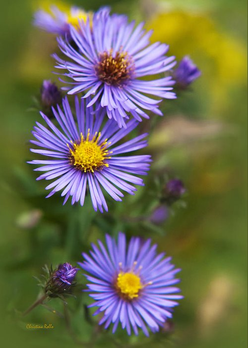 Wildflower Greeting Card featuring the photograph Wild Aster Trio by Christina Rollo