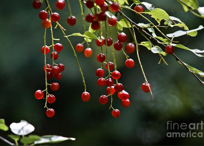 Chokecherries Greeting Card featuring the photograph Wild Berries by Cheryl Baxter