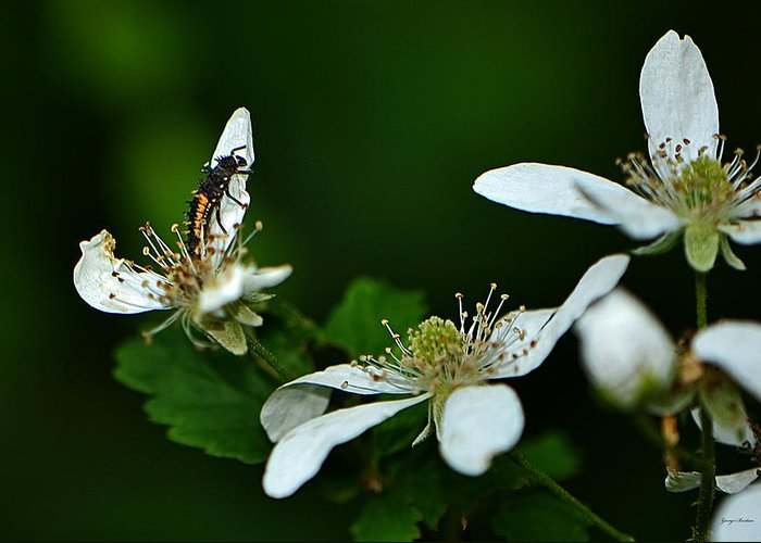 Insect Greeting Card featuring the photograph Wild Berry Blossoms And Friend by George Bostian