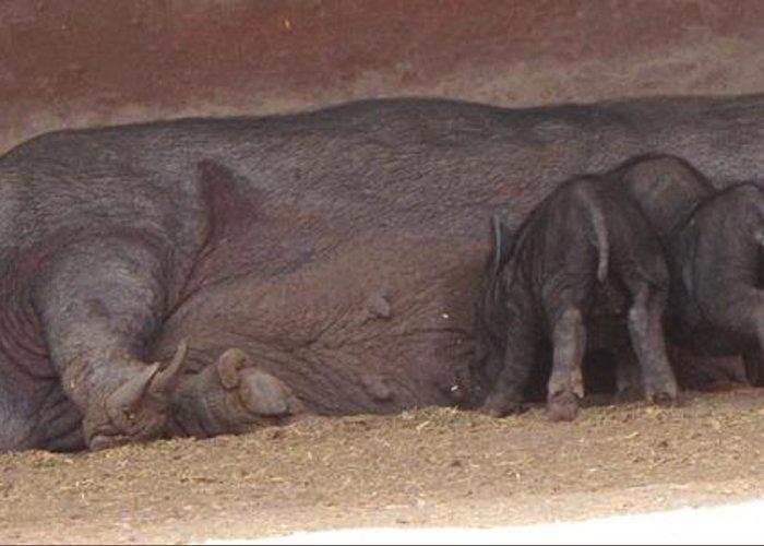 Wild Boar Greeting Card featuring the photograph Wild Boar Family by Bozena Simeth