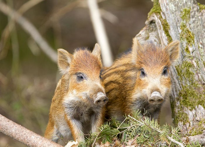 Wild Boar Piglets Greeting Card