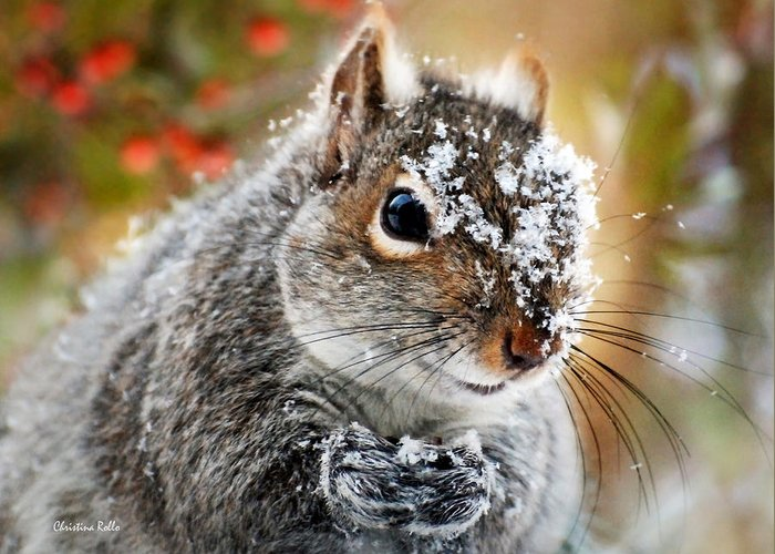 Christmas Squirrels Greeting Cards