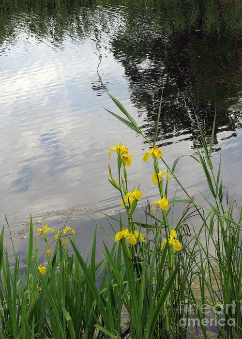 Wild Greeting Card featuring the photograph Wild Iris By The Pond by Ausra Huntington nee Paulauskaite