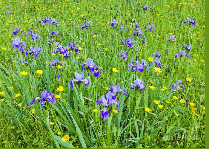 Iris Greeting Card featuring the photograph Wild Iris Patch by Alan L Graham