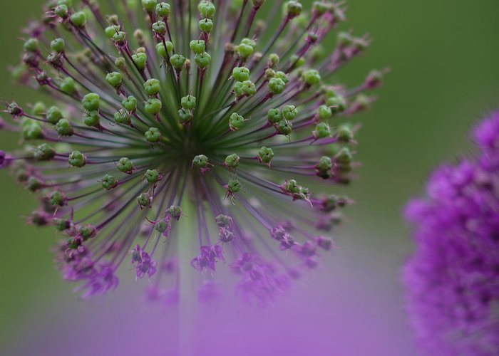 Allium Greeting Card featuring the photograph Wild Onion by Heiko Koehrer-Wagner