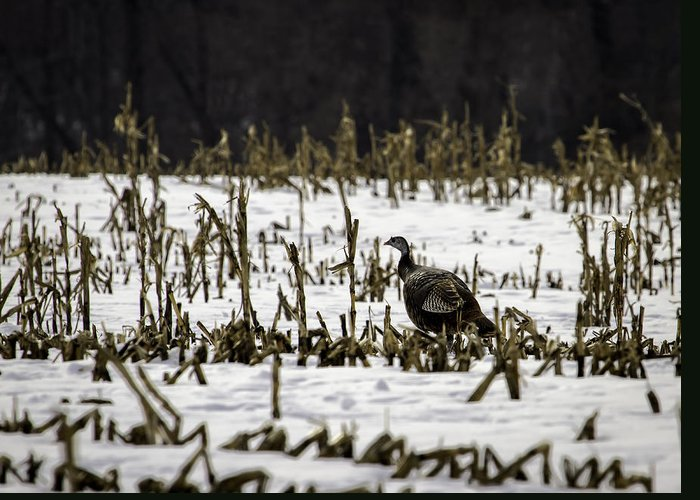 Wild Turkey (meleagris Gallopavo) Greeting Card featuring the photograph Wild Turkey In The Corn by Thomas Young