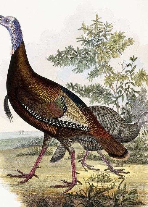 Turkey Greeting Card featuring the painting Wild Turkey by Titian Ramsey Peale