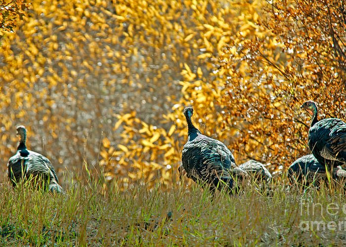 Birds Greeting Card featuring the photograph Wild Turkeys And Fall Colors by Robert Bales