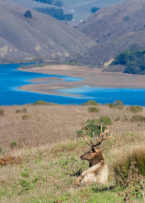 Tule Elk Greeting Card featuring the photograph Wild Wapiti Surveying His Kingdom by Kathleen Bishop