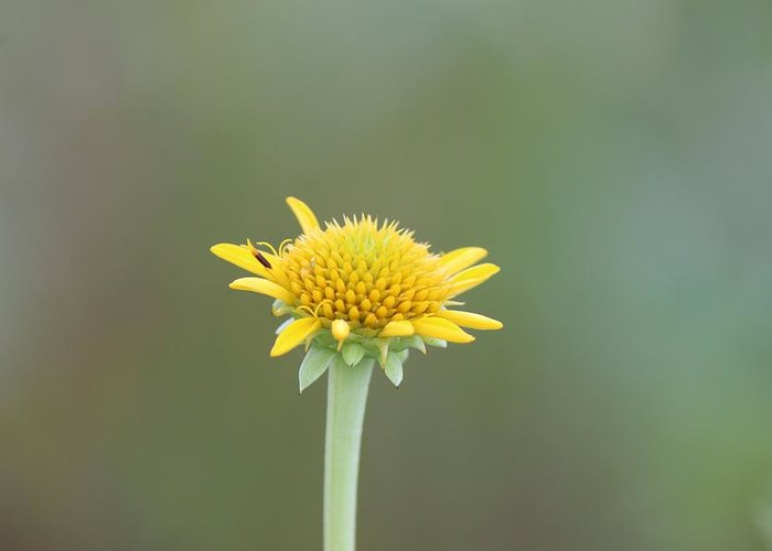 Yellow Greeting Card featuring the photograph Wildflower 01 by Peggy Burley