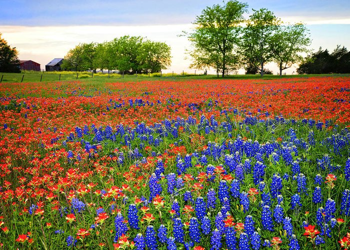 Bluebonnets In The Texas Hill Country Greeting Card featuring the photograph Wildflower Tapestry by Lynn Bauer