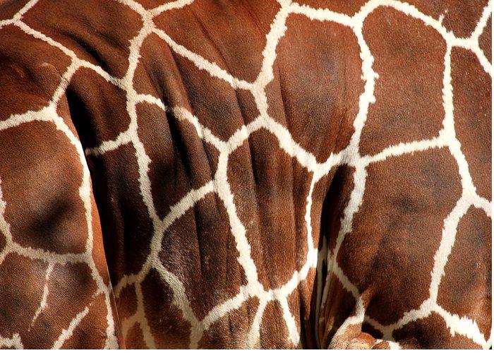 Giraffe Greeting Card featuring the photograph Wildlife Patterns by Aidan Moran