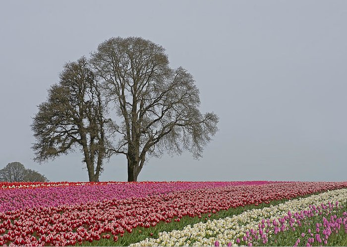 Pacific Greeting Card featuring the photograph Willamette Valley Tulips by Nick Boren