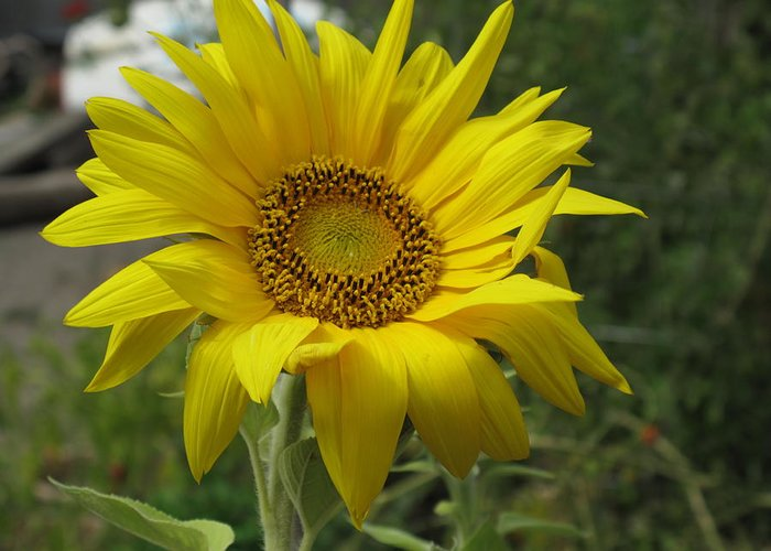 Sunflower Greeting Card featuring the photograph Windblown Sunflower Two by Barbara McDevitt