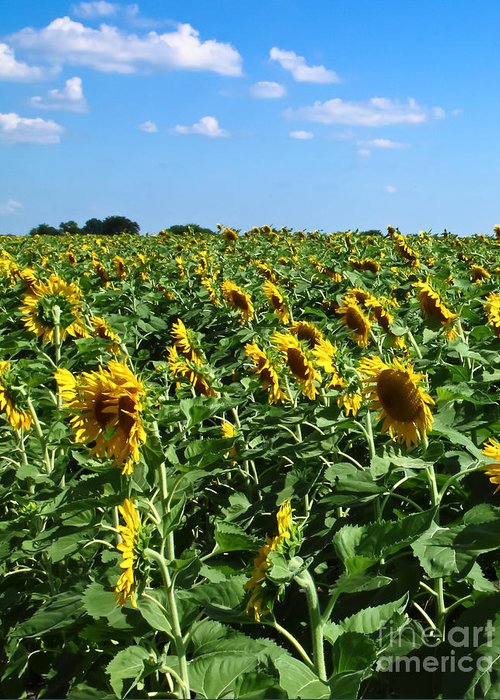 Sunflower Greeting Card featuring the photograph Windblown Sunflowers by Robert Frederick