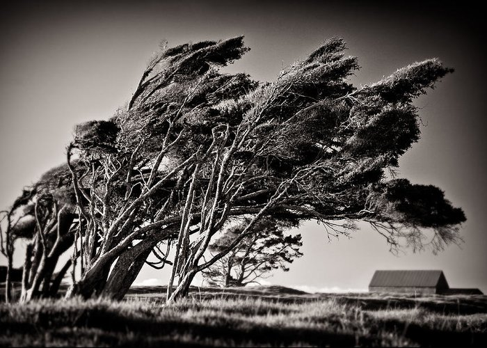 Windswept Trees Greeting Card featuring the photograph Windswept by Dave Bowman