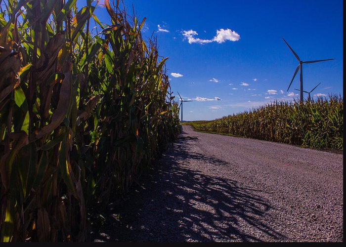 Corn Greeting Card featuring the photograph Windy Corn by Michael Thacker