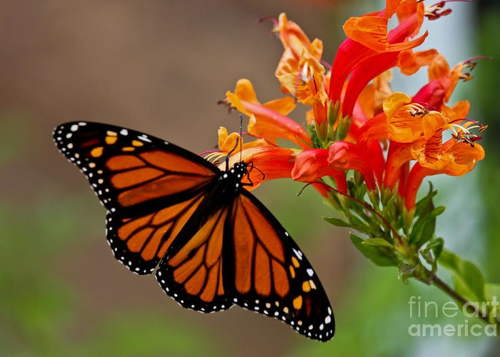 Butterfly Greeting Card featuring the photograph Winged Grace by Diana Black