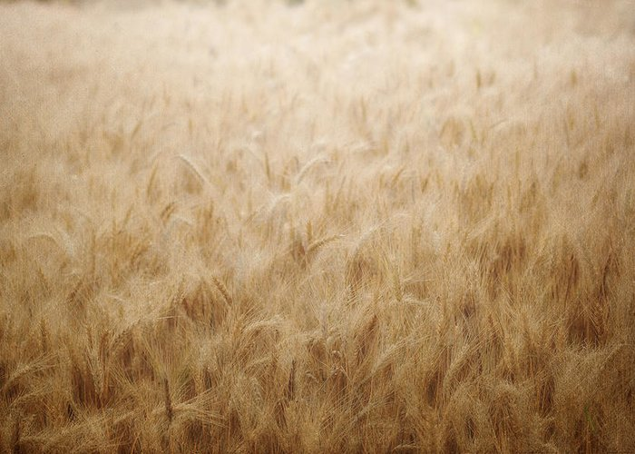 Wheat Field Greeting Card featuring the photograph Winsome Wheat by Amy Tyler