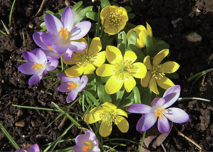 Eranthis Hyemalis Greeting Card featuring the photograph Winter Acconite And Crocus Flowers by Sheila Terry/science Photo Library